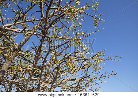 Frankincense (Boswellia sacra) tree , olibanum-tree, in Dhofar, Oman.
