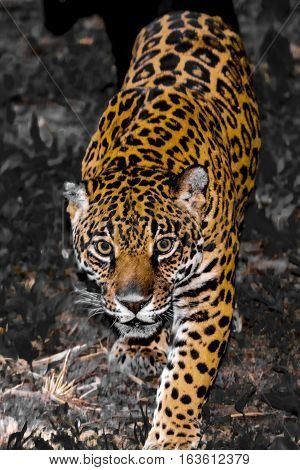 Spotted female jaguar - Panthera onca - selected color of yellow