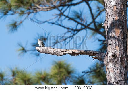 Meadowlark sits on a branch of a pine tree
