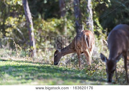 Whitetail female deer grazes on grass in a wooded area