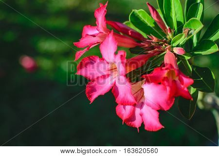 desert rose Tropical flower on a tree or Impala Lily beautiful Pink adenium in the garden