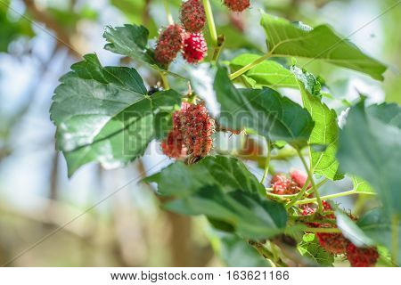 Mulberry fruit on tree black ripe and red unripe mulberry on the branch in nature