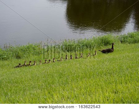 Duck Family walking through the grass at a pond in Fort Myers Florida