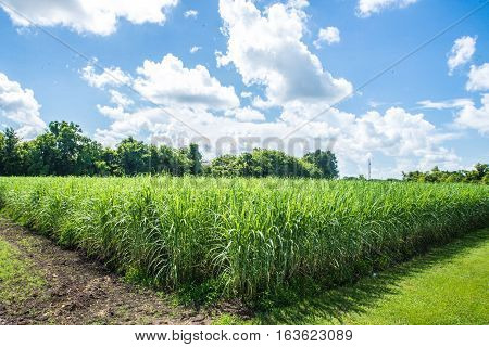 Sugar Cane Fields and Bright Blue Skies in Louisiana