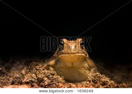 Animal Froggie
