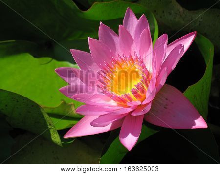 Pink Water Lilly flower with center link a cup of melted butter (#4) - in pond in Tahiti on Raiatea island