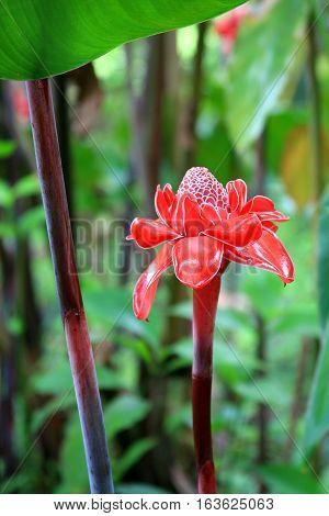 Helaconia flower. Single bud on a stalk. Deep in the forest on Moorea in Tahiti