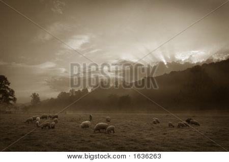 Sheep In Pasture, Sepia