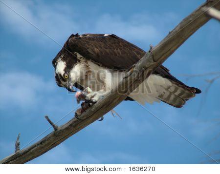 Osprey Begging For Food