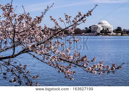Blooming cherry blossoms in springtime with the Jefferson Memorial in the background in Washington, DC.