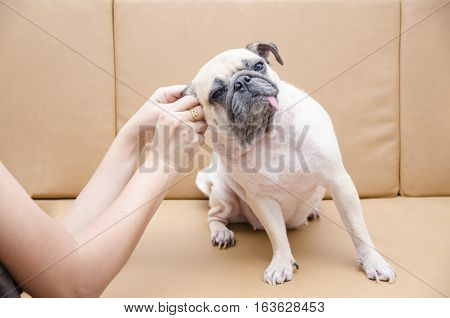 Cute pug dog with ear picking for cleaning from owner