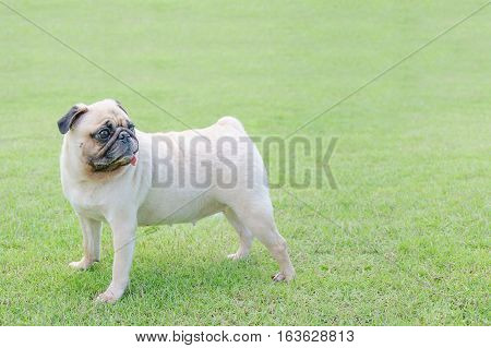 Dog pug in green field with copy space for label text