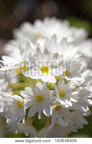 White flower of Primula denticulata in the garden close up