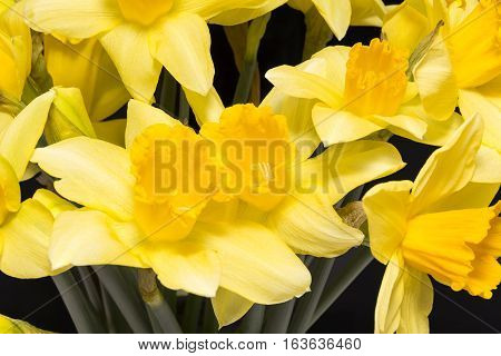 Spring flowers of yellow jonquil on black background close up