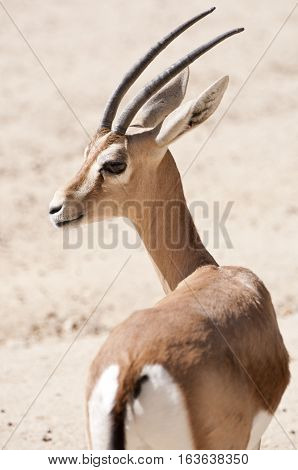 Dorcas gazelle Gazella dorcas. It is a small and common gazelle inhabits grassland steppe wadis mountain desert and in semidesert climates of Africa and Arabia
