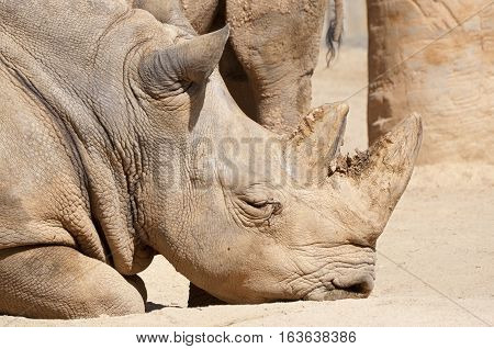 White Rhinoceros Ceratotherium simum. It is one of the five species of rhinoceros that still exist. It found in Africa.