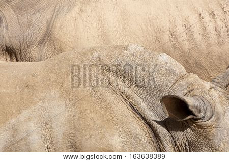 Skin of White Rhinoceros Ceratotherium simum. It is one of the five species of rhinoceros that still exist. It found in Africa.
