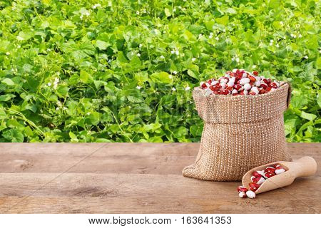 pinto beans in burlap bag with wooden scoop. Dry kidney beans in burlap sack on table with green blooming field of beans on the background. Agriculture and harvest concept. Photo with copy space area for a text
