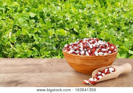 pinto beans in ceramic bowl with wooden scoop. Dry kidney beans in bowl on table with green blooming field on the background. Agriculture and harvest concept. Photo with copy space area for a text