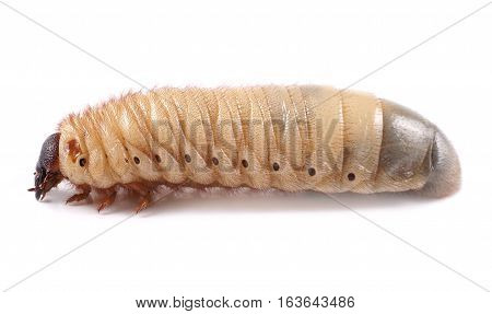 Rhinoceros beetle (Xylotrupes gideon) larva on white background