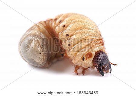 Rhinoceros beetle (Xylotrupes gideon) larva on white background