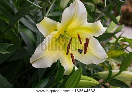 Beautiful local white lilly flower bloom stock photo