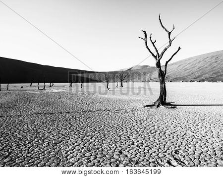 Desolated dry landscpe with dead camel thorn trees in Deadvlei pan with cracked soil in the middle of Namib Desert red dunes, near Sossusvlei, Namib-Naukluft National Park, Namibia, Africa. Black and white image.