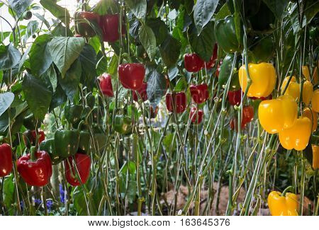 Sweet Pepper, Bell Pepper or Capsicum plant display in food festival, stock photo