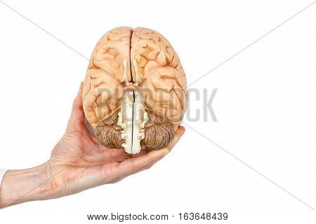 Female hand holding model human brains hemispheres isolated on white background