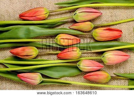 buds of red tulips on burlap background