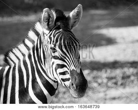 Close-up portrait of Chapman's zebra, Equus quagga chapmanni, in black and white