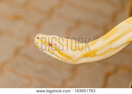 Gold Reticulated Python or Boa in nature
