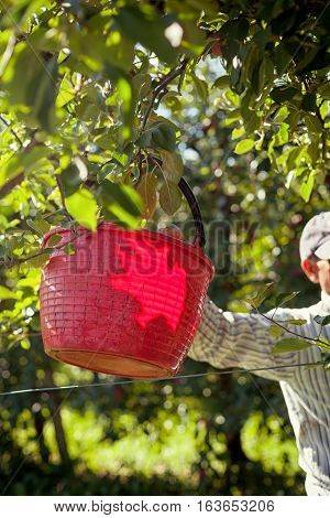 Worker Picking Italian Typical Apples