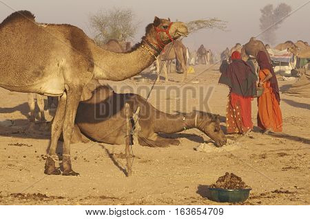 NAGAUR, RAJASTHAN, INDIA - FEBRUARY 15, 2008: Women wearing colourful fabrics collecting camel dung for use as fuel during the annual livestock fair at Nagaur in India.