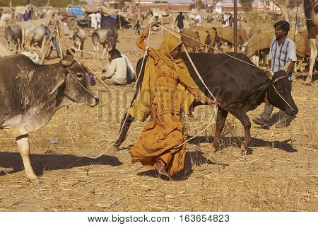 NAGAUR, RAJASTHAN, INDIA - FEBRUARY 15, 2008:  Women in traditional brightly coloured fabrics controls two bullocks using ropes at the annual livestock fair in Nagaur, India.