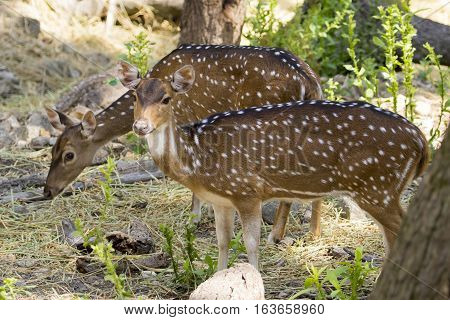 Image of a chital or spotted deer on nature background. wild animals.