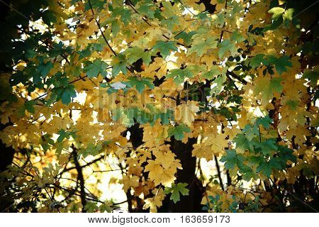 The light-flooded green and yellow leaves of a maple tree early autumn.