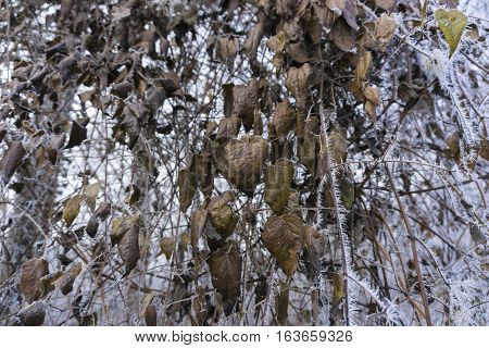 Frozen Leaves and Branches in Winter. Frozen Nature