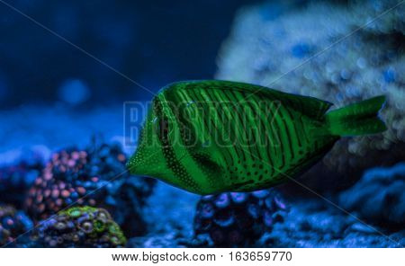 Zebrasoma desjardini, Sailfin Tang. Reef tank marine aquarium. Blue aquarium full of plants. A tank filled with water for keeping live underwater animals. Night view.