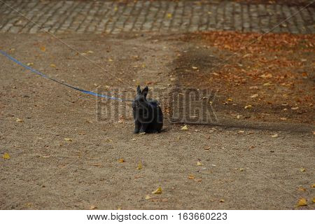 Rabbit for a walk. Small gray rabbit outside for a walk.