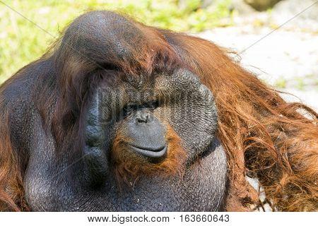 Image of a big male orangutan orange monkey. Wild Animals.