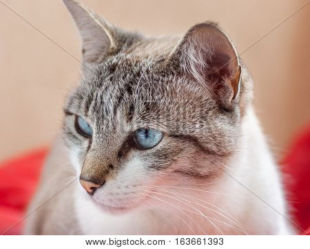 White and grey cat with blue eyes looking sideways, with red background