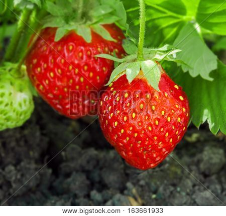 Strawberry plant, outdoor macro shot close-up. Healthy natural bio food.