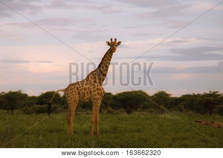 Giraffe In The Bush At Sunset Against The Sky   In The Etosha Park,