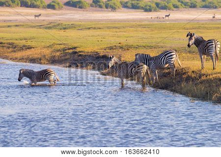 Zebras Crossing Chobe River. Glowing Warm Sunset Light. Wildlife Safari In The African National Park