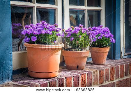 Potted purple mums on a window sill in Jim Thorpe Pennsylvania.