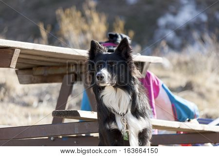 a splendid specimen of Border collie (a herding dog breed)