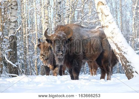 Two European bisons (Wisent Bison bonasus) in winter forest. National park Ugra Kaluga region Russia.