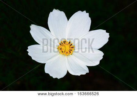 Close Up Beautiful White Flower Bloom, Yellow Stamens.