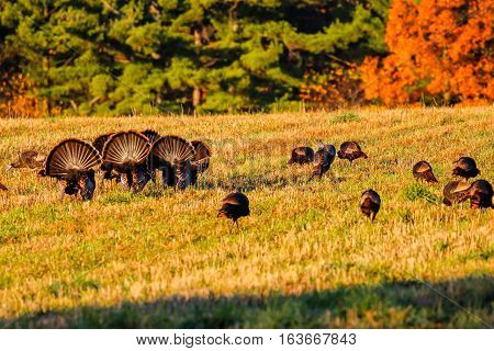 Six tom turkeys (Meleagris gallopavo) with tail fans spread out in fall.